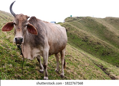 A cow with one broken horn in Marlboro country, Batanes, Philippines