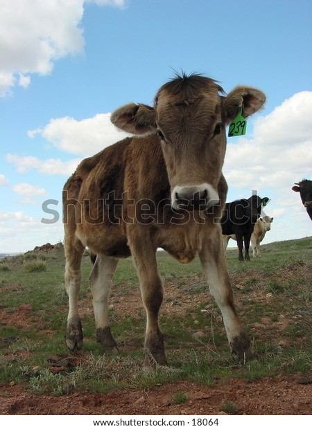 Cow out in field with blue sky