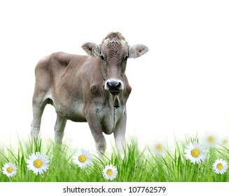 Cow over white background