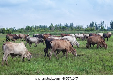 cow, ox and buffalo in the green field