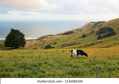 Cow and Pacific - south island, New Zealand
