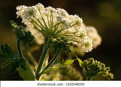 Cow parsnip, Luffenholtz Beach County Park, California, USA