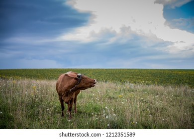 cow in pasture grazing on fresh green grass