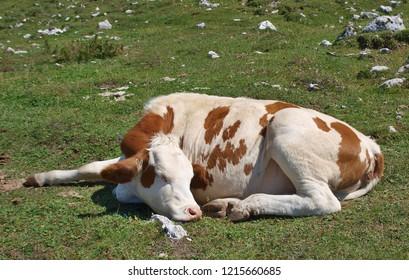cow in the pasture, mountain Dobratsch, Karawanken alps, Austria