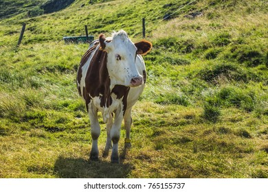 A cow is pasturing on green lush meadow in Alps Mountains. Auvergne-Rhone-Alpes. France.