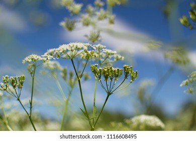 Cow Petrushka (Anthriscus sylvestris), against the background of the blue sky. Belarus.