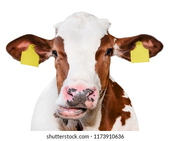 Cow portrait close up isolated on white. Funny cute red and white spotted cow head isolated on white. Farm animals