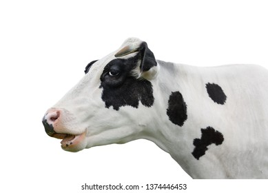 Cow portrait close up isolated on white. Funny cute black and white spotted cow head isolated on white. Farm animals
