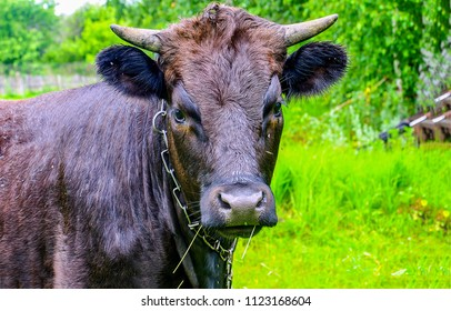 Cow portrait at cow farm. Cute cow portrait. Domestic cow looking
