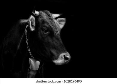 Cow Portrait On Dark Background