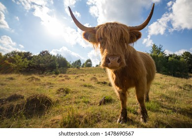 Cow portrait with sun in the back