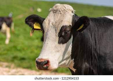 Cow - Portrait of a white and black heifer with green meadows on background