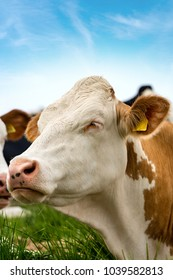 Cow - Portrait of a white and brown heifer without horns on green grass and blue sky with clouds