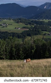 Cow posing with Austrian mountains in the background.