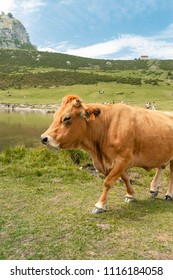 Cow posing in front of the Covadonga lakes