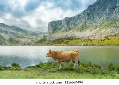 Cow posing in front of the lakes of Covadonga