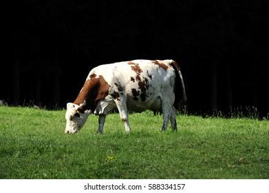 cow in a prairie landscape
