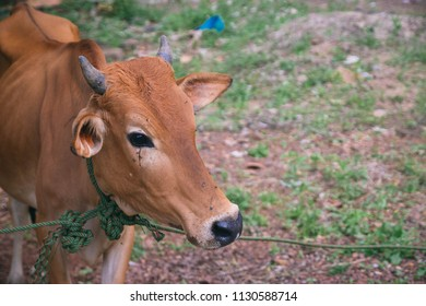a cow for preparation to sacrifice for slaughter tradition in Eid Adha celebration in islam