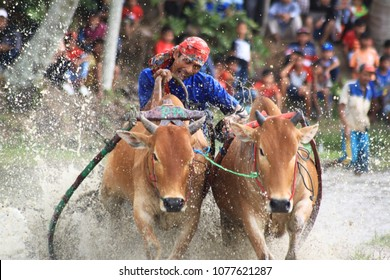 Cow race or pacu jawi performance as how to maintain the Minangkabau society that is not extinct ancestral traditions in District Galogandang, Tigo Koto, Tanah Datar, West Sumatera Thursday (4/8/2016)