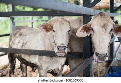 Cow Ranch, Plant freeding cows