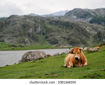 Cow resting by a lake
