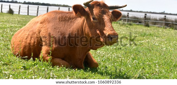 Cow resting in the grass