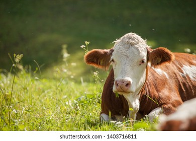 A cow resting in a green pasture in Dolomites area