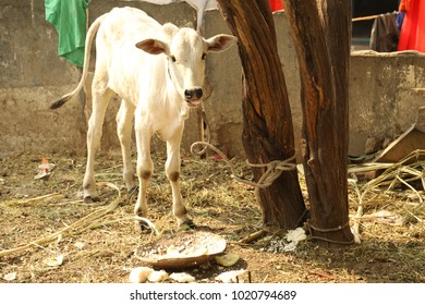 Cow at rural area