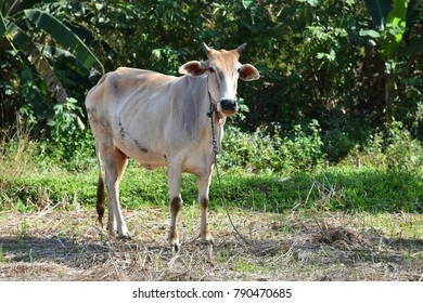 Cow in rural area, Thailand.