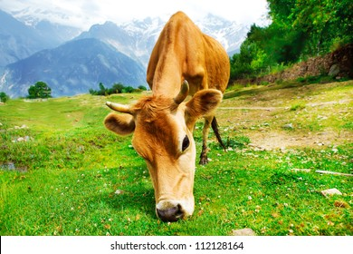 Cow in rural mountainous area