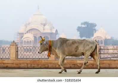 cow is a sacred animal in the background Kusum Sarovar Govardhan Mandir.