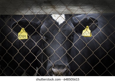 a cow with sad eyes behind bars  in the paddock. the concept of the protection of animals.