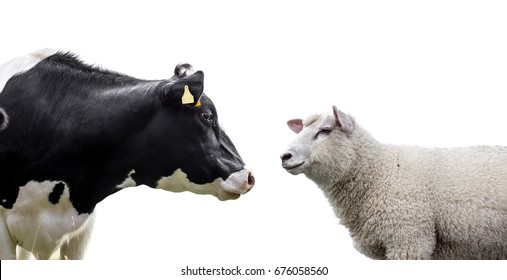 Cow and sheep on a white background