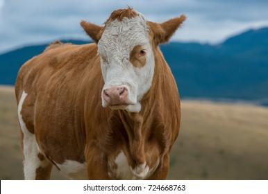 Cow simental race