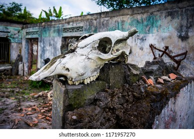 Cow skull bone in the ruin