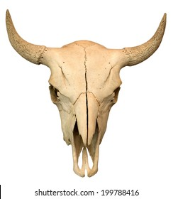 Cow skull isolated on the white background