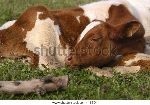 Cow Sleep