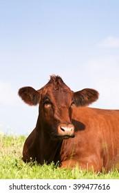 cow sleep outside in meadow. Happy cows in field with blue sky.