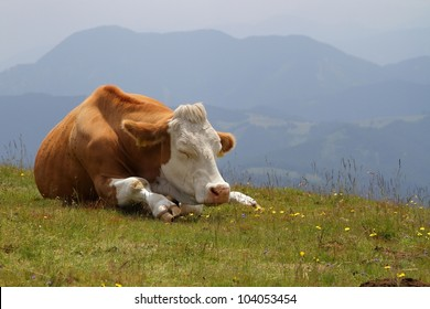 cow sleeping on pasture at high mountains