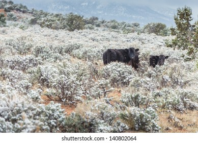 Cow with Snow