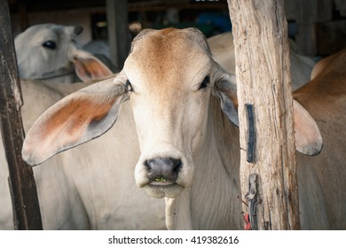 Cow in stall