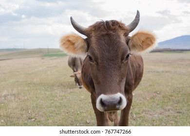 A cow standing alone in a field.
