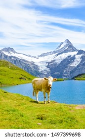 Cow standing in front of beautiful Bachalpsee in the Swiss Alps. Famous mountains Eiger, Jungfrau, and Monch in background. Alpine cows. Switzerland nature. Snow-capped mountains. Wildlife, cattle.