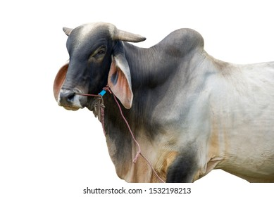 Cow standing isolated on white background