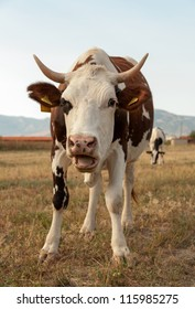 Cow standing on dry meadow by the river