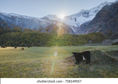 Cow standing on a field while the sun sets below the mountain in Saas Fee, Switzerland.