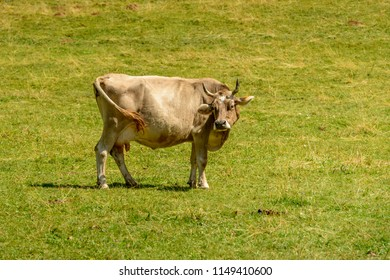 cow standing on green grass of alpine pasture, shot in bright summer light at Cainallo Alp, Lecco, Lombardy, Italy