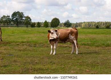 Cow standing on a juicy pasture in the sunshine