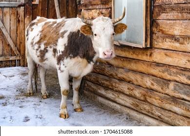 納屋の雪の中に立っている牛。