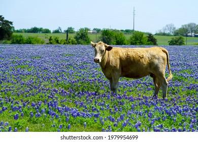 Cow standing in Texas bluebonnet wildflowers during spring season near Brenham, TX